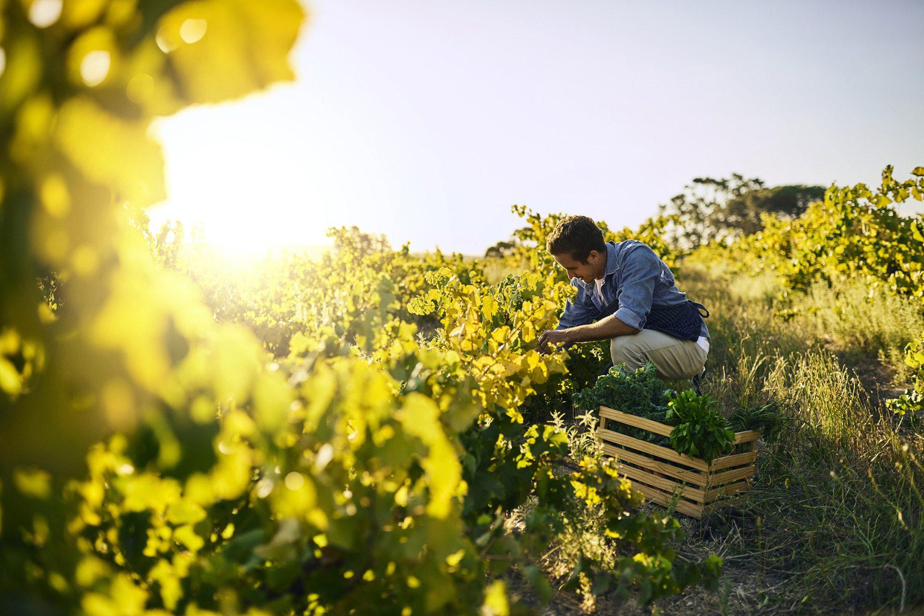 Jeune Agriculteur récoltant son panier dans un champs ensoleillé