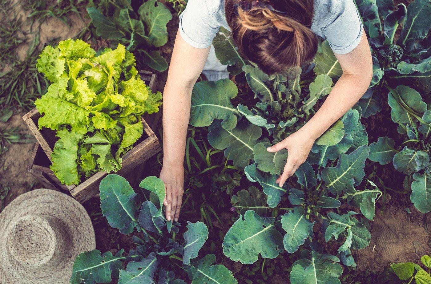 Agricultrice dans un champs de choux
